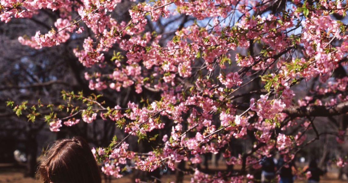 【果子離群索書】在花心拂亂的迷惑中──讀《敵人的櫻花》