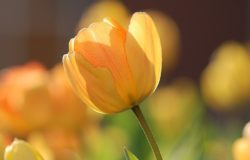 荷蘭花市上的第一批鬱金香,其實都是從卡羅勒斯的花園裡偷來栽培的。