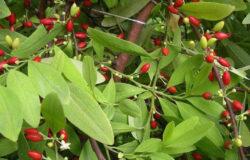 「這不是毒品,不會上癮。古柯葉是最單純的植物了,我們印加人都是喝這個養生。」